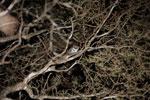 Gray Mouse Lemur (Microcebus murinus) [madagascar_2470]