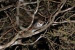 Gray Mouse Lemur (Microcebus murinus) [madagascar_2473]