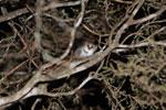 Gray Mouse Lemur (Microcebus murinus) [madagascar_2478]