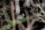 White-footed Sportive Lemur (Lepilemur leucopus) in a spiny Alluaudia procera plant [madagascar_2482]