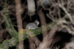 White-footed Sportive Lemur (Lepilemur leucopus) in a spiny Alluaudia procera plant [madagascar_2483]