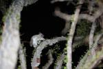 White-footed Sportive Lemur (Lepilemur leucopus) in a spiny Alluaudia procera plant [madagascar_2485]