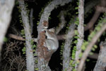 White-footed Sportive Lemur (Lepilemur leucopus) in a spiny Alluaudia procera plant [madagascar_2488]