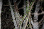 White-footed Sportive Lemur (Lepilemur leucopus) in a spiny Alluaudia procera plant [madagascar_2492]