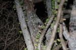 White-footed Sportive Lemur (Lepilemur leucopus) in a spiny Alluaudia procera plant [madagascar_2495]