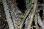 White-footed Sportive Lemur (Lepilemur leucopus) in a spiny Alluaudia procera plant [madagascar_2496]