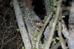 White-footed Sportive Lemur (Lepilemur leucopus) in a spiny Alluaudia procera plant [madagascar_2498]