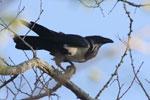 Madagascar Pied Crow (Corvus albus) [madagascar_2502]