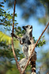 Mother ring-tailed lemur with baby