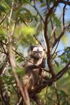 Red-fronted brown lemur (Eulemur rufus) [madagascar_2550]