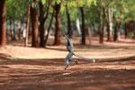 Verreaux's Sifaka dancing [madagascar_2594]