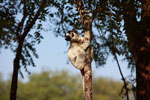 Verreaux's Sifaka on the lookout