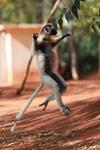 Verreaux's Sifaka dancing [madagascar_2666]