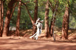 Verreaux's Sifaka dancing [madagascar_2673]