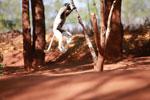 Verreaux's Sifaka dancing [madagascar_2680]