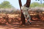 Verreaux's Sifaka dancing [madagascar_2684]