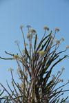 Alluaudia procera in flower