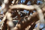 White-footed Weasel Lemur (Lepilemur leucopus) in a spiny Alluaudia procera plant [madagascar_2696]