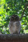 White-browed Owl (Ninox superciliaris) [madagascar_2724]
