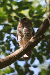 White-browed Owl (Ninox superciliaris) [madagascar_2732]