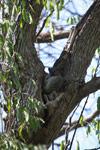 White-footed Lepilemur (Lepilemur leucopus) [madagascar_2735]