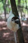 Verreaux's Sifaka (Propithecus verreauxi) [madagascar_2751]