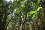 Sifaka in a dry gallery forest in southern Madagascar
