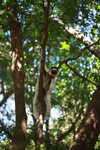 Sifaka straddling a small tree