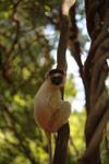 Verreaux's Sifaka (Propithecus verreauxi) [madagascar_2799]
