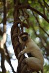 Verreaux's Sifaka (Propithecus verreauxi) [madagascar_2800]