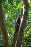White-footed Lepilemur (Lepilemur leucopus) in a tree hollow