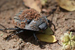 Dung beetle in Madagascar [madagascar_2854]