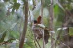 Nesting Madagascar paradise-flycatcher