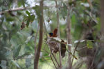Female Madagascar Paradise-flycatcher (Terpsiphone mutata) in its nest