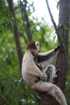 Baby Verreaux's Sifaka (Propithecus verreauxi) nursing with its mother [madagascar_2880]