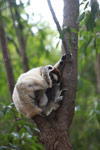 Nursing Verreaux's Sifaka cleaning its foot