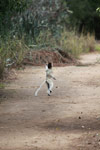 Territorial chase between a pair of Verreaux's Sifaka (Propithecus verreauxi) [madagascar_2914]