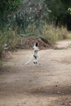 Verreaux's Sifaka (Propithecus verreauxi) in a territorial chase [madagascar_2916]