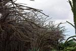 Alluaudia procera plantation