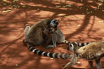 Ringtails grooming [madagascar_2966]