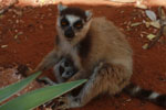 Mother ringtail nursing her baby lemur