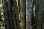 Giant bamboo [madagascar_3228]
