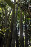 Giant bamboo [madagascar_3230]