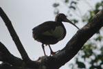 Madagascar Ibis (Lophotibis cristata) [madagascar_3253]