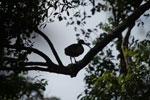 Madagascar Ibis (Lophotibis cristata) [madagascar_3254]