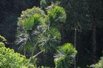 Pandanus tree [madagascar_3263]