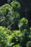 Pandanus tree [madagascar_3264]