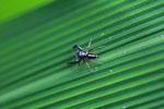 Metallic black spider [madagascar_3277]