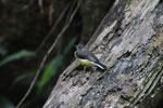 Madagascar Wagtail (Motacilla flaviventris) [madagascar_3285]