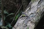 Madagascar Wagtail (Motacilla flaviventris) [madagascar_3286]